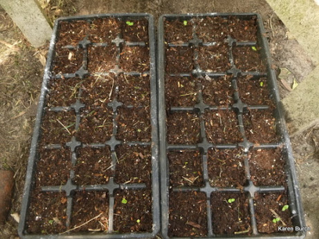 Hibiscus seedlings beginning to emerge