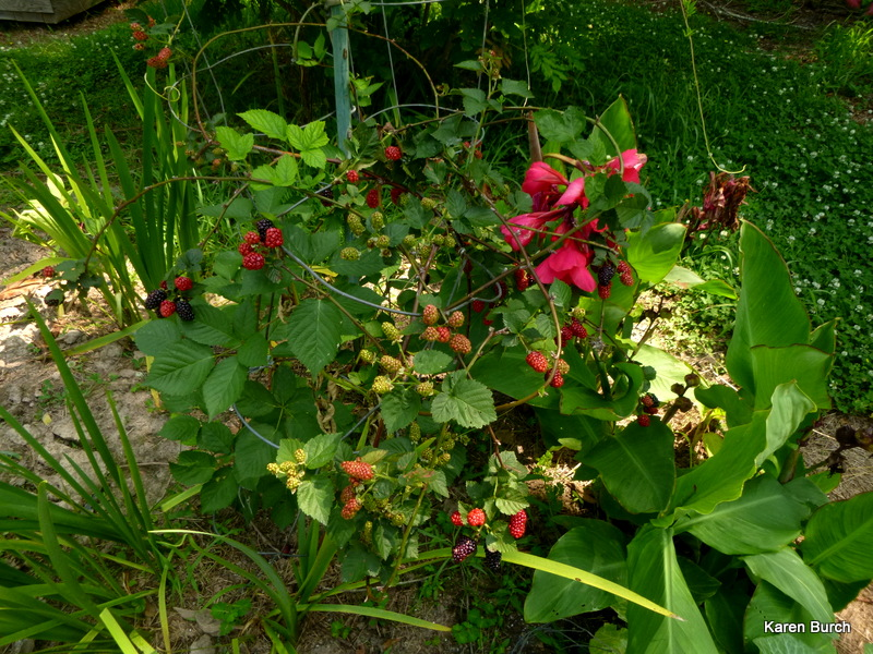 thornless blackberries in various stages of ripeness