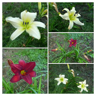 Red and Near White Daylily collage