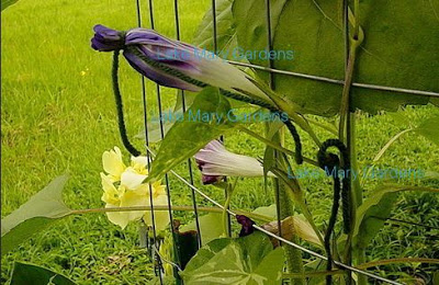 Large Flower Japanese morning glory self pollinating