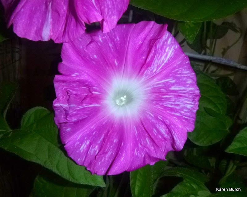 Japanese Morning Glory Hannahubuki close up