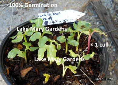 Japanese Morning Glory kikyo seedlings culling