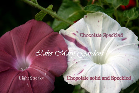 Japanese Morning Glory large flower  Chocolate and chocolate speckled