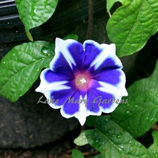 Japanese Morning Glory Kikyo Ice also called Snowflakes on ebay