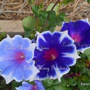 Japanese Morning Glory Kikyo lavendar and blue