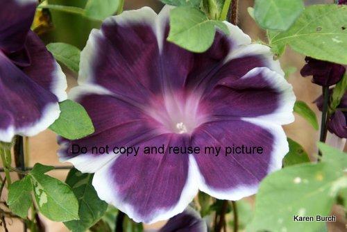 Dusky purple Large Flower Japanse Morning Glory
