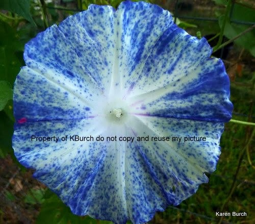 Japanese Morning Glory Large Flower Fujishibori Speckled Blue