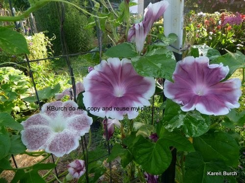 Japanese Morning Glory Large Flower Fujishibori Speckled Chocolate