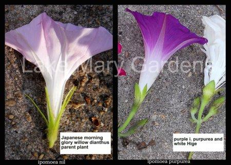 ipmoea nil and ipomea purpurea sepal differences
