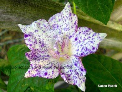JMG speckled kikyo purple