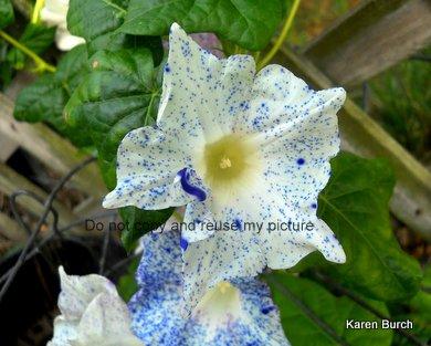 JMG speckled kikyo blue