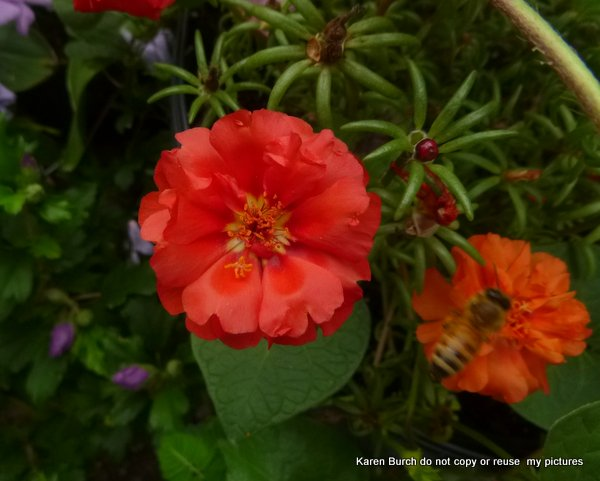 Red orange moss rose hige morning glories