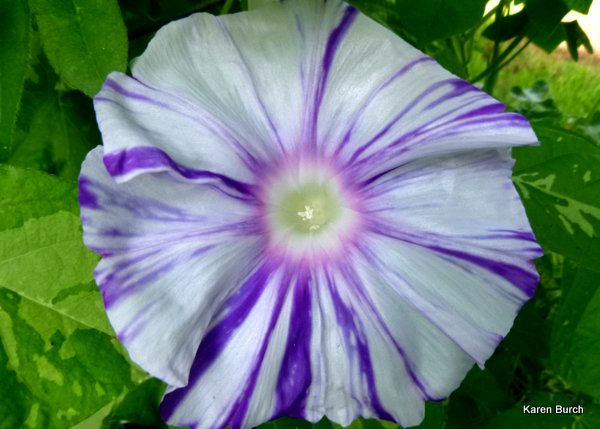japanese morning glory large flower variegated vine