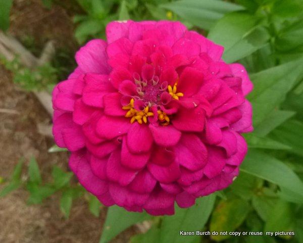 Zinnia bright pink