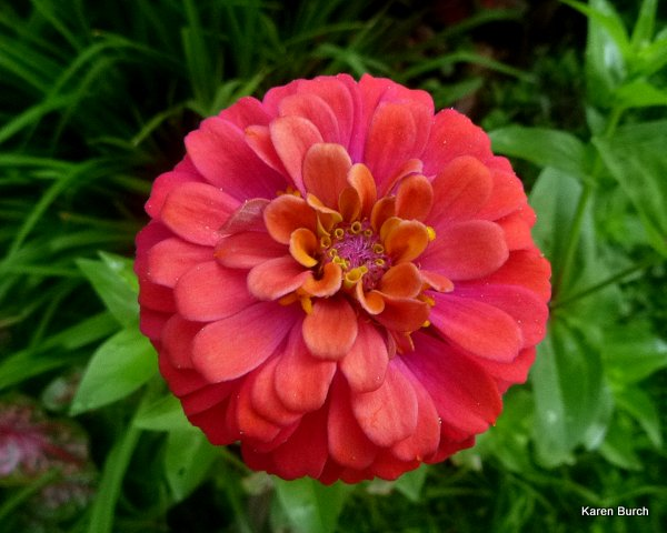 cut and come again salmon zinnia