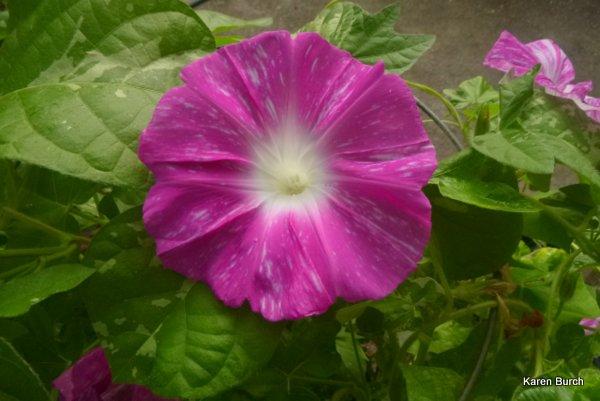 japanese morning glory large flower pink blizzard