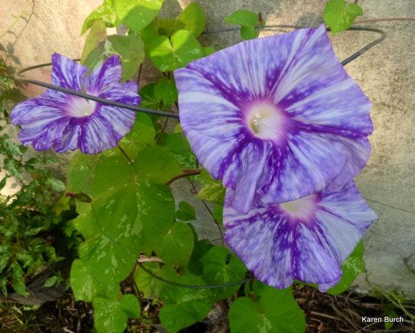Japanese Morning Glory Large Flower Tie dye