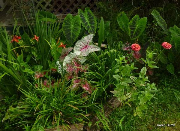 caladiums elephant ears illustris zinnias