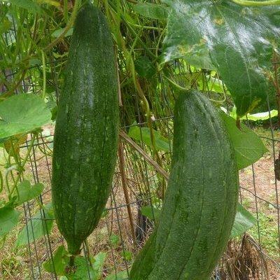 luffa gourds still green