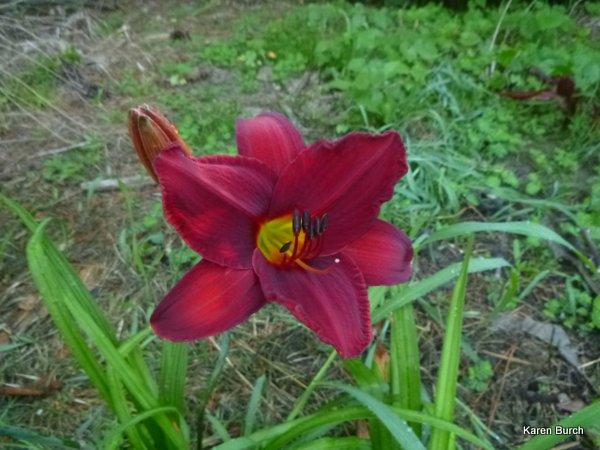 Big Red white daylily