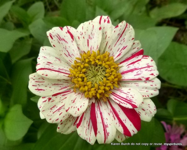 striped pink zinnia