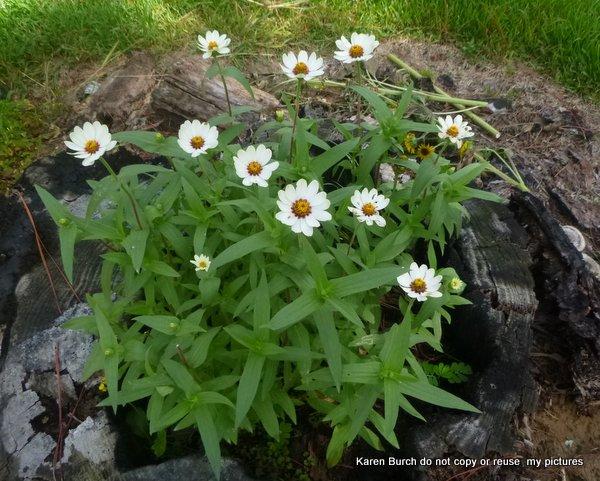 white zinnias