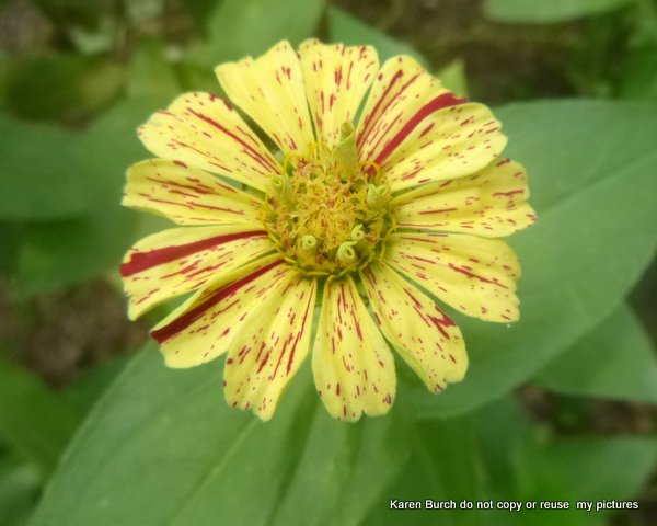 red yellow stripe zinnia