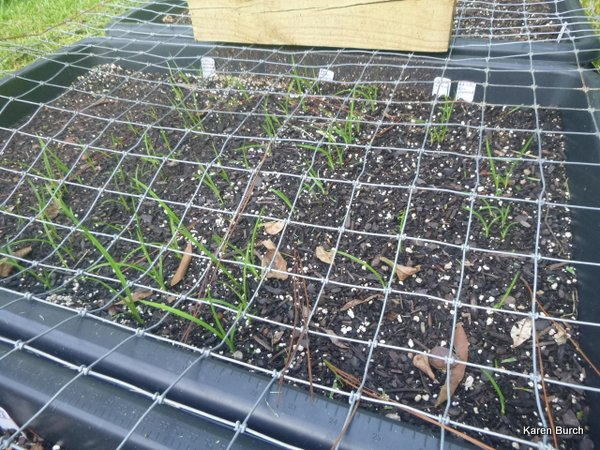 Freshly Planted Daylilies are sprouting!