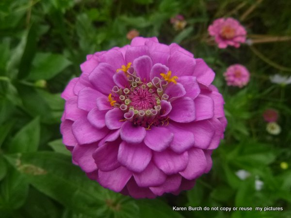 cut and come again pink zinnia