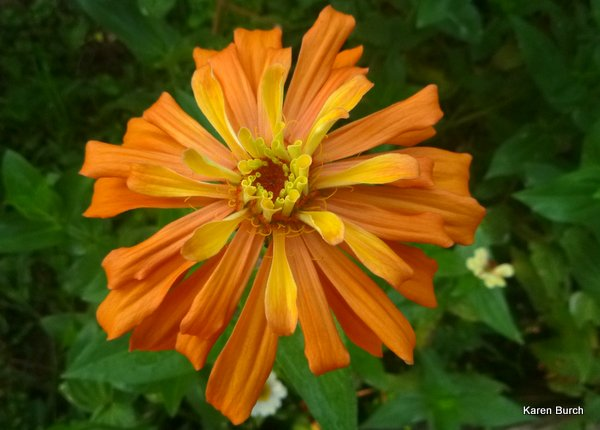 large orange cactus zinnia
