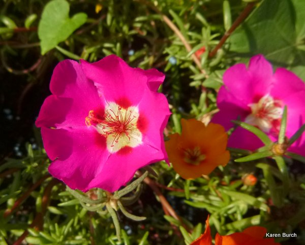 moss rose bright pink
