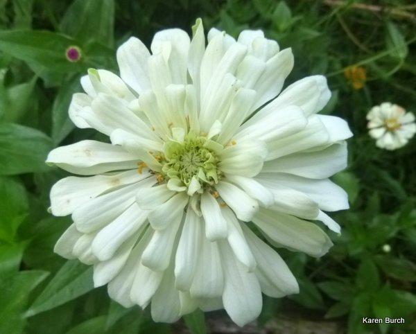 large white Cactus zinnia