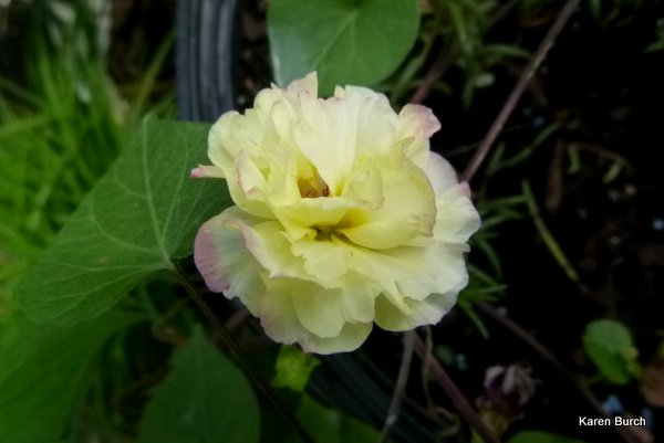 moss rose yellow with rose edges