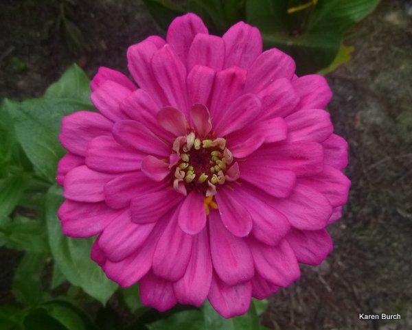 Large pink zinnia