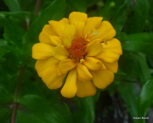 yellow cut and come again zinnia