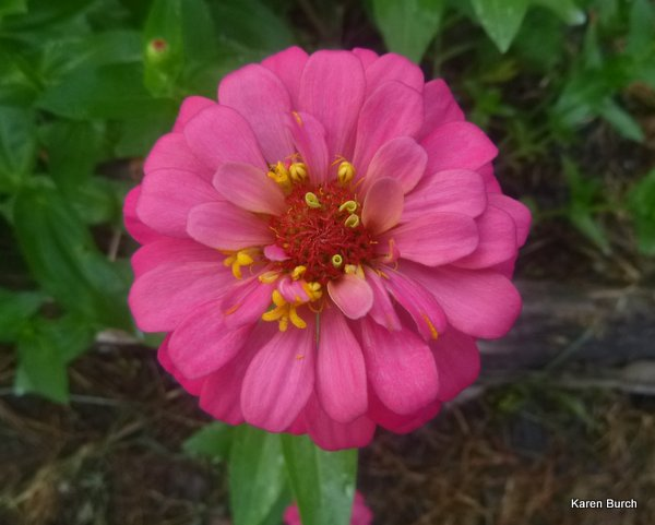 pink cut and come again zinnia