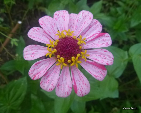 pink stripe zinnia