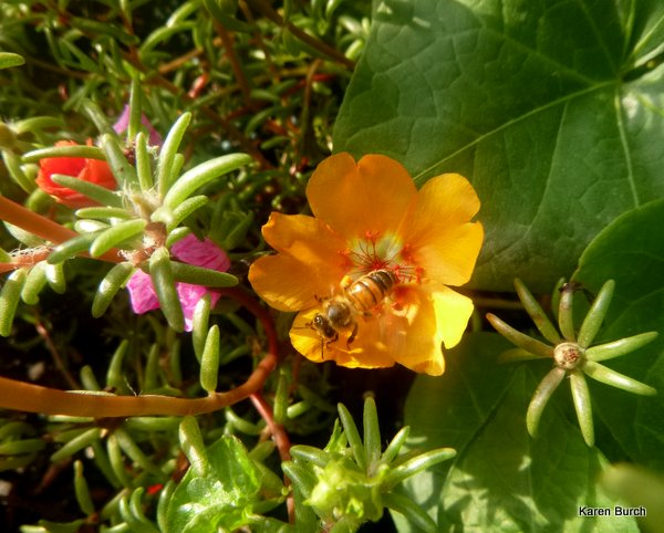 bee on moss rose
