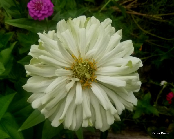 white cactus zinnia aging color changes