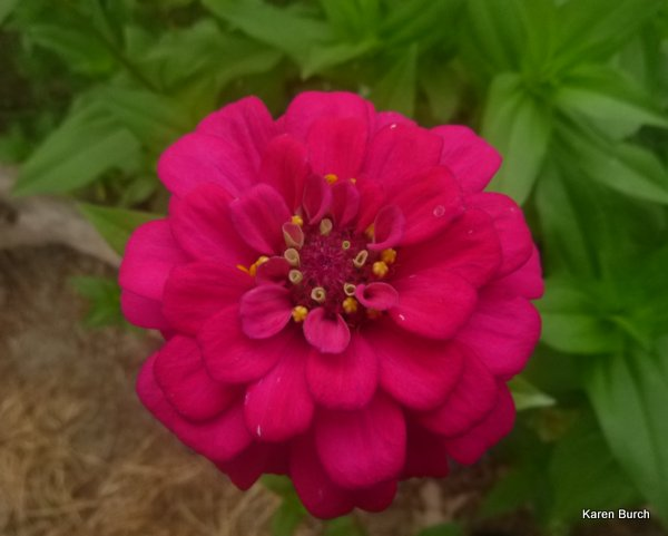 bright pink cut and come again zinnia
