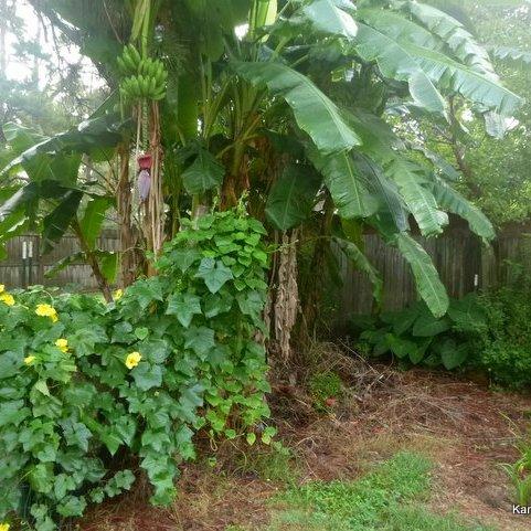 Luffa gourd banana tree elephant ears
