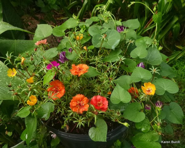 Red orange moss roses hige morning glories
