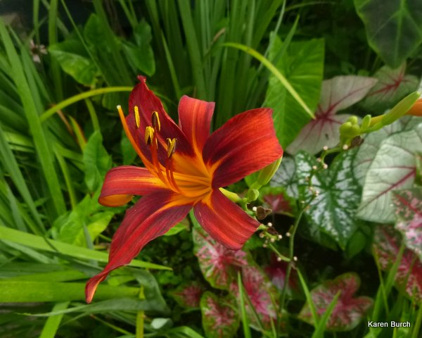 daylily red stripe seedling