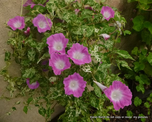 Japanese Morning Glory pink blooms miniature contracted variegated leaf