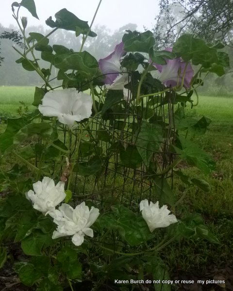 Japanese Morning Glory mutant white boton double blooms