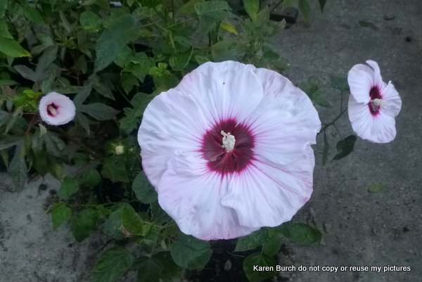 hardy hibiscus white pink shaded red radiating center oval leaf