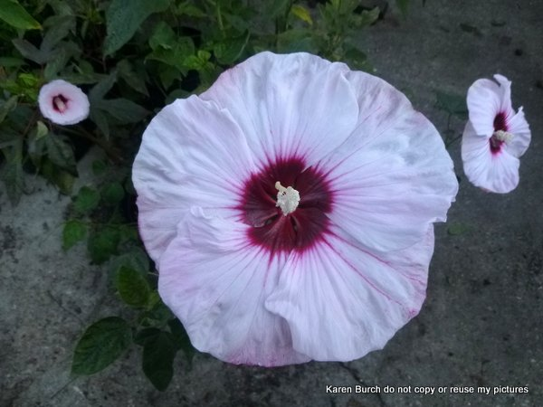 # 4 of 8 plants hardy hibiscus white pink shaded red radiating center oval leaf