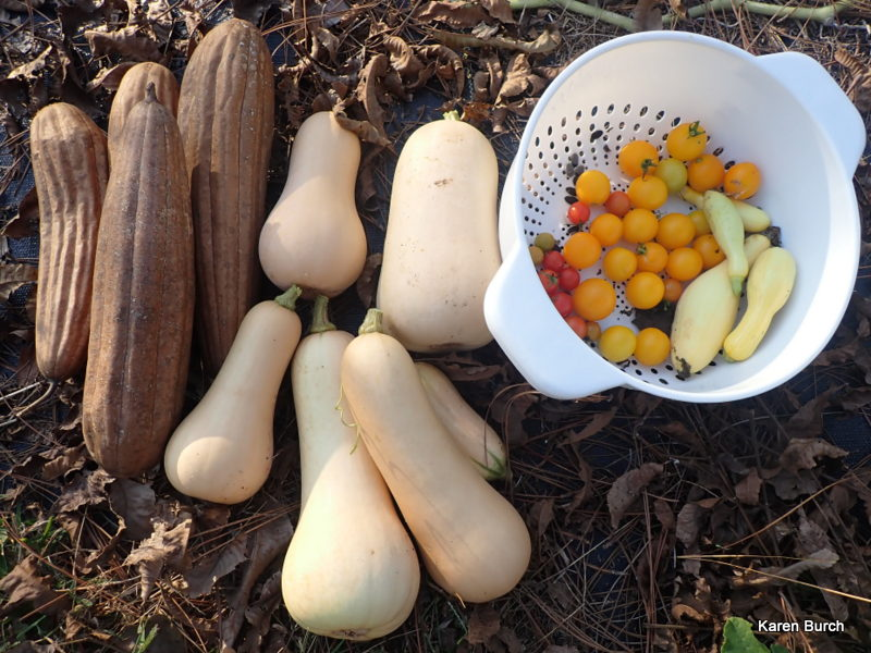 butternut squash and dry harvested luffa gourds