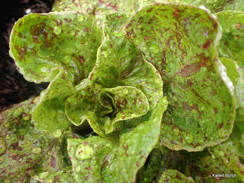 Lettuce Sanguine Ameliore   Strawberry Cabbage Lettuce image 2