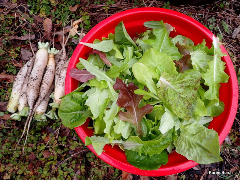 Burpee Lettuce Loose Leaf Blend and Daikon radishes